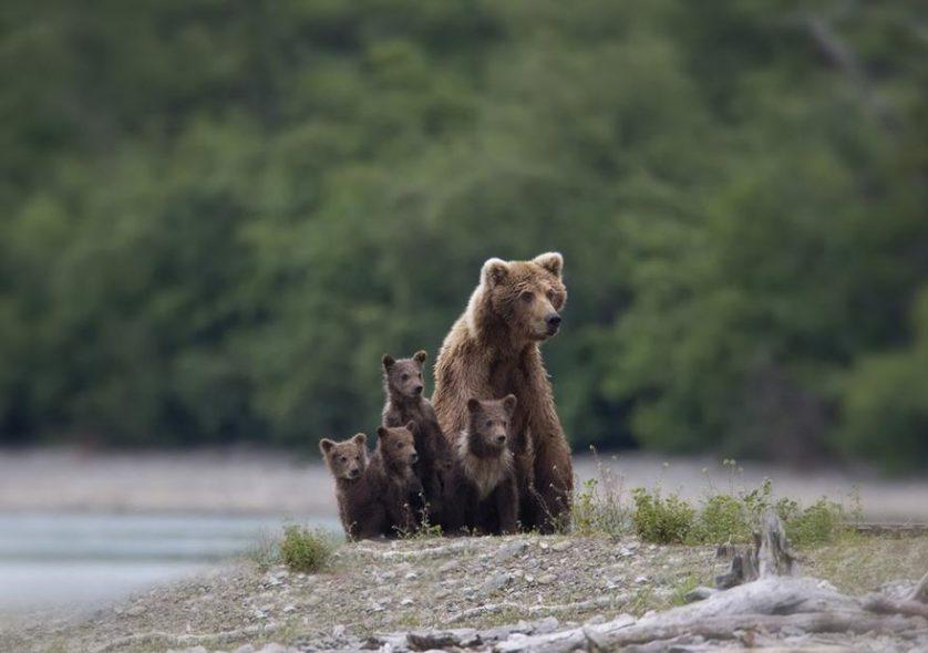 filhotes de ursos 8