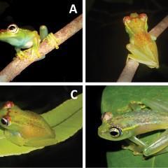 Nova espécie de sapo é descoberta em Madagascar