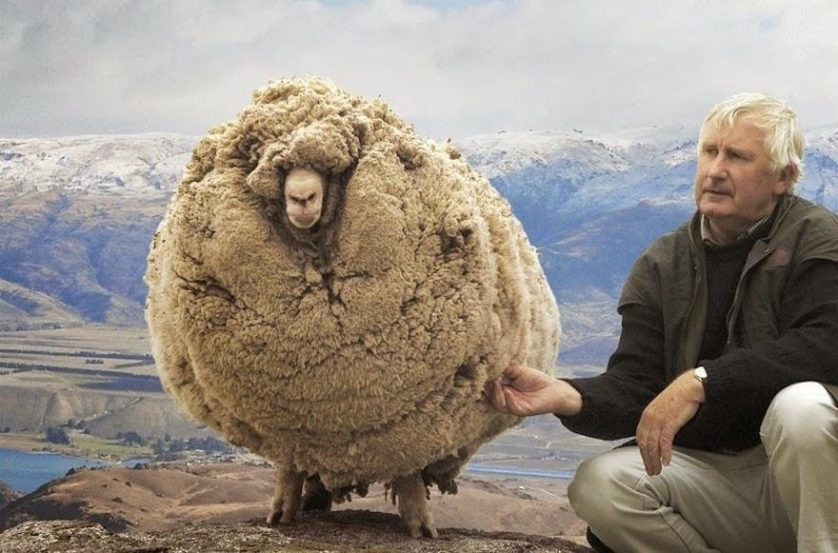 ovelha peluda sem tosa