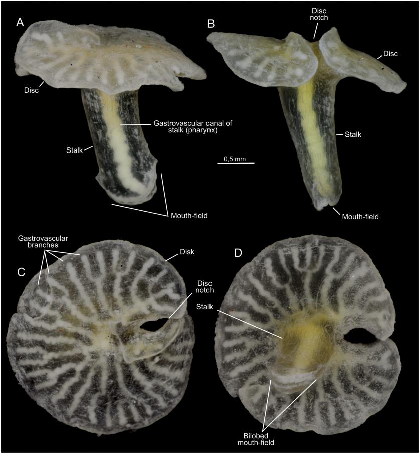 Dendrogrammatidae 2