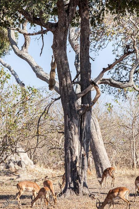 leopardo salta de arvore para cacar