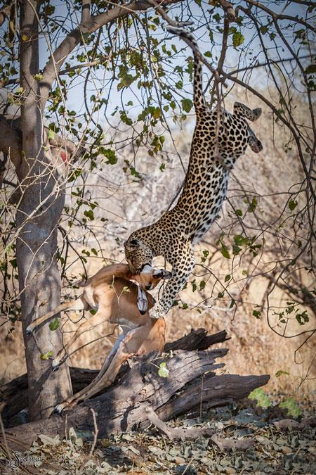 leopardo salta de arvore para cacar3