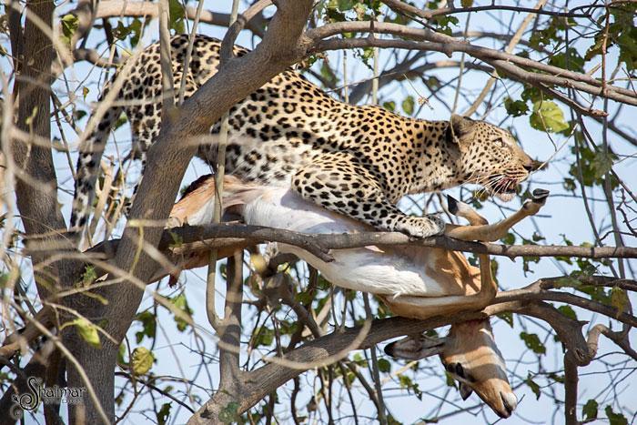 leopardo salta de arvore para cacar4