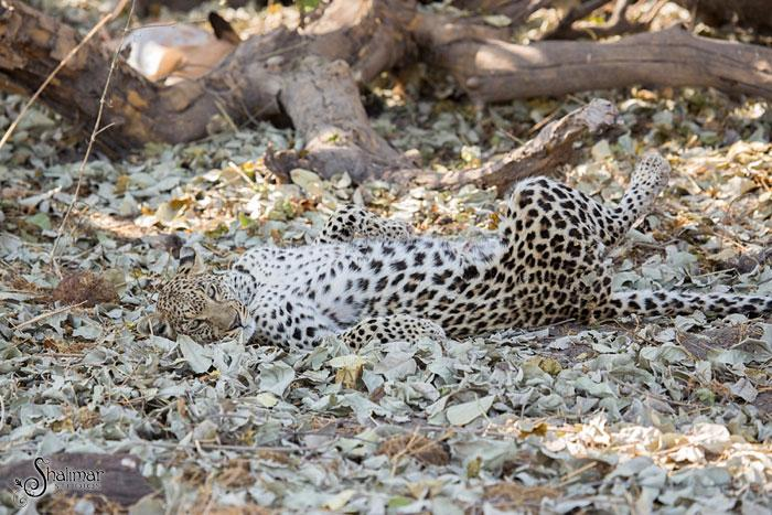 leopardo salta de arvore para cacar5