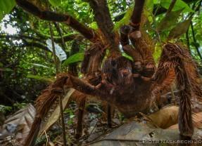 Veja imagens assustadoras do maior aracnídeo do mundo, a aranha-golias-comedora-de-pássaros