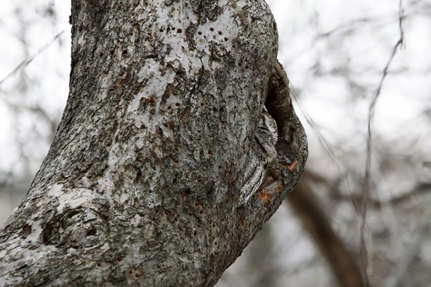 coruja camuflagem 10
