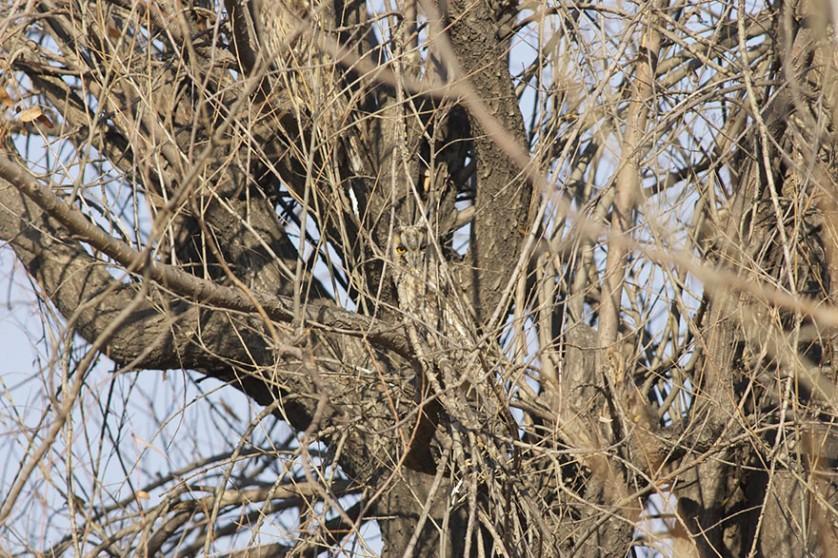 coruja camuflada