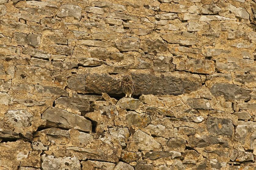 coruja camuflagem 9