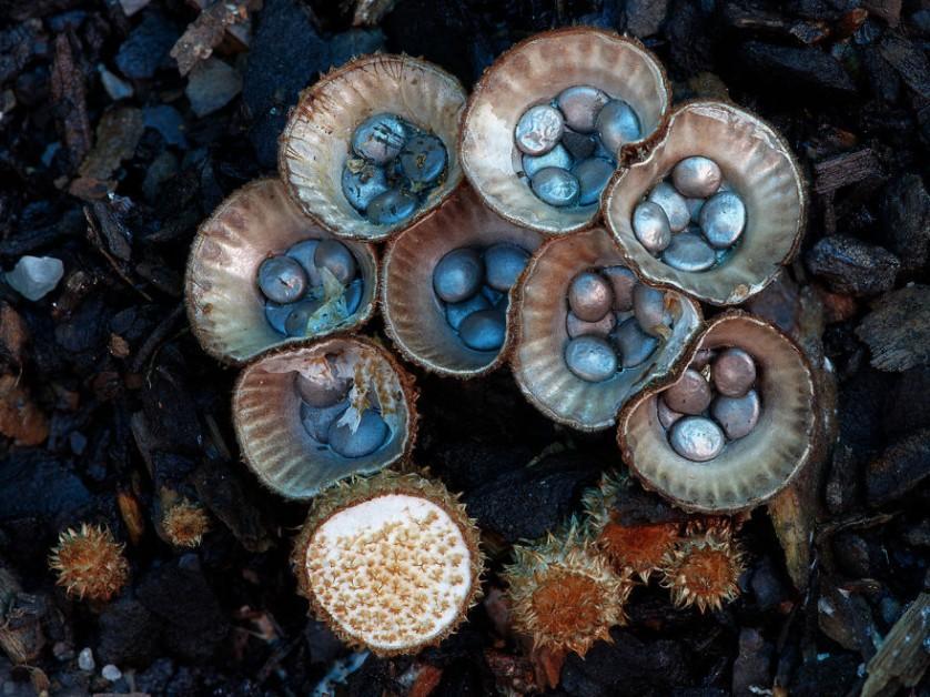 foto de cogumelos Cyathus Striatus