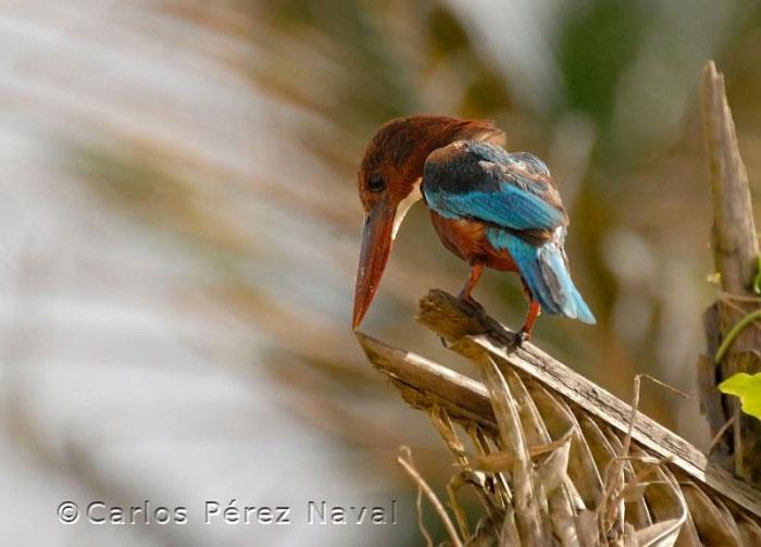 fotografo de vida selvagem carlos perez naval (14)