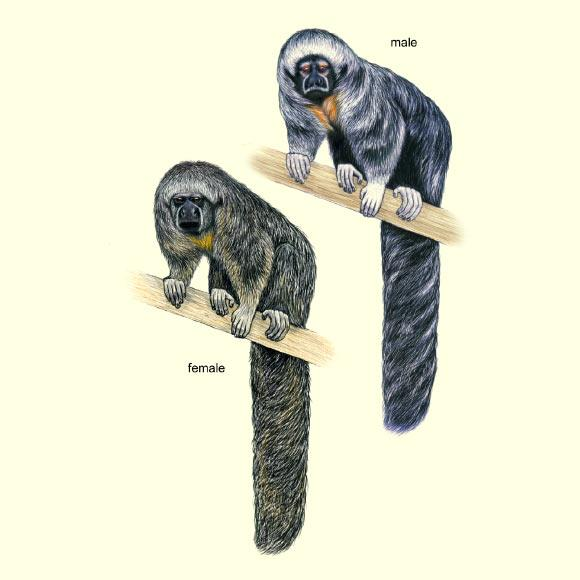 macacos saguis 2