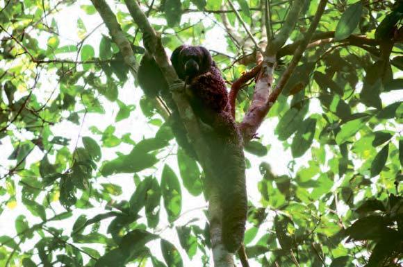 macacos saguis 3-