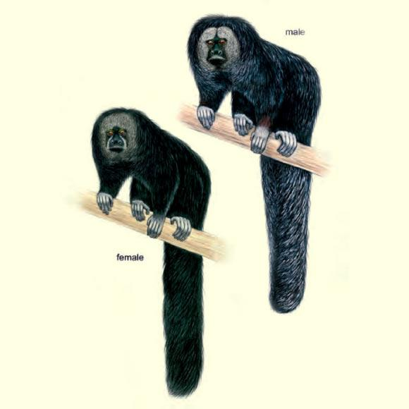 macacos saguis 4