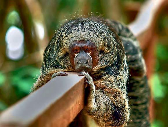macacos saguis 5-