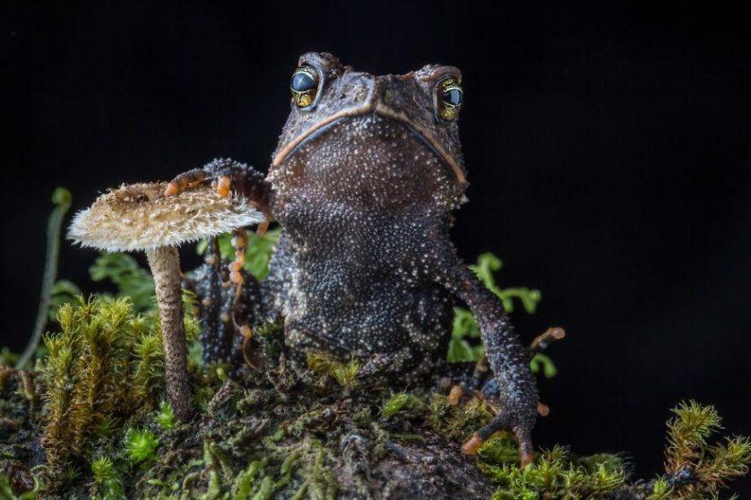 Cuchumatan Golden Toad