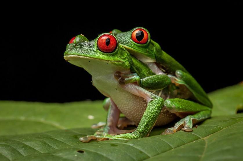 sapos anfibios raros 6