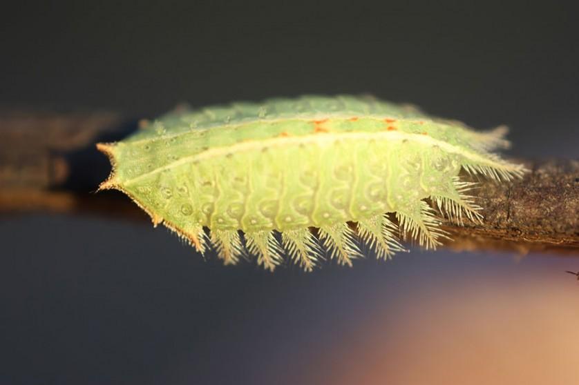 transformacao borboletas 15
