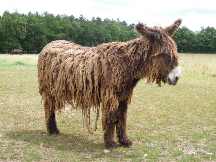 Donkey Baudet du Poitou