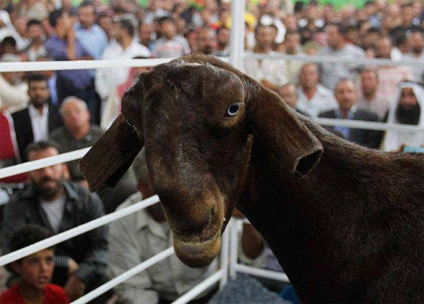 damacene-goat-cropped-ears