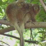 Macacos bolivianos enrolam suas caudas uns nos outros para manter equilíbrio
