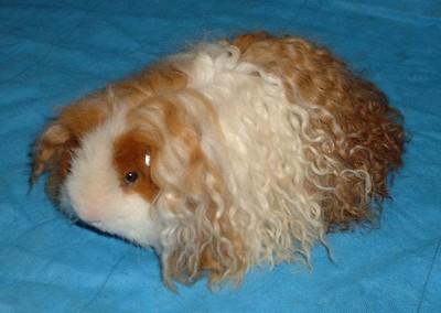 texel-guinea-pig1