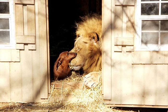 amizades entre animais 21