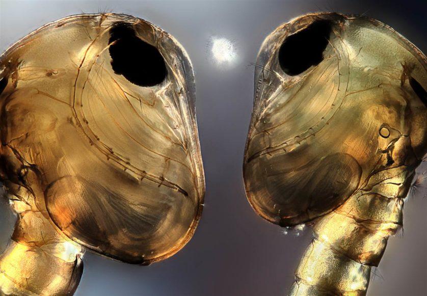 Esta foto de duas pupas de mosquitos foi feita por Jerzy Rojkowski de Cracóvia, na Polônia, e recebeu uma menção honrosa