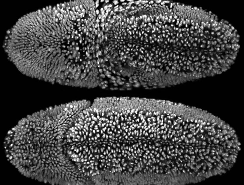 O primeiro lugar foi dado a um vídeo mostrando múltiplas visões do desenvolvimento embrionário de uma mosca da fruta. As imagens microscópicas foram capturadas por William Lemon, Fernando Amat e Philipp Kellerif do Janelia Research Campus (EUA). Este embrião foi gravado em intervalos de 30 segundos ao longo de um período de 24 horas, começando três horas após os ovos racharem. A larva recém-eclodida começa a engatinhar para fora da tela no final do vídeo (veja abaixo)
