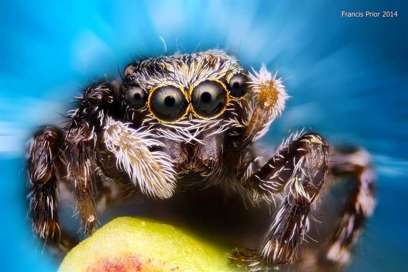 Uma aranha-saltadora olha para a câmera nesta foto, menção honrosa recebida por Francis Prior de Liverpool, na Inglaterra