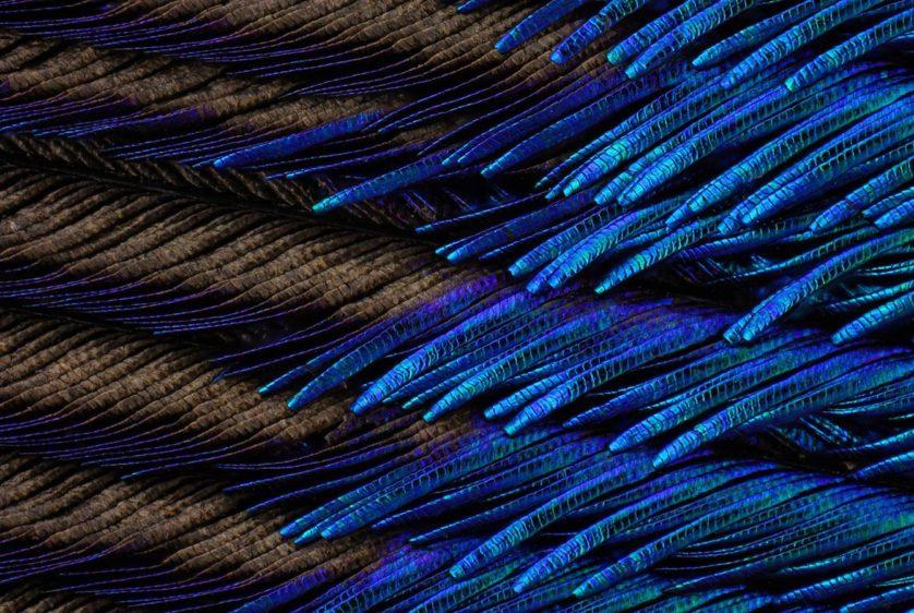 Este ponto de vista microscópico de uma pena de pavão por Charles Krebs, de Washington, nos EUA, foi premiado com uma menção honrosa