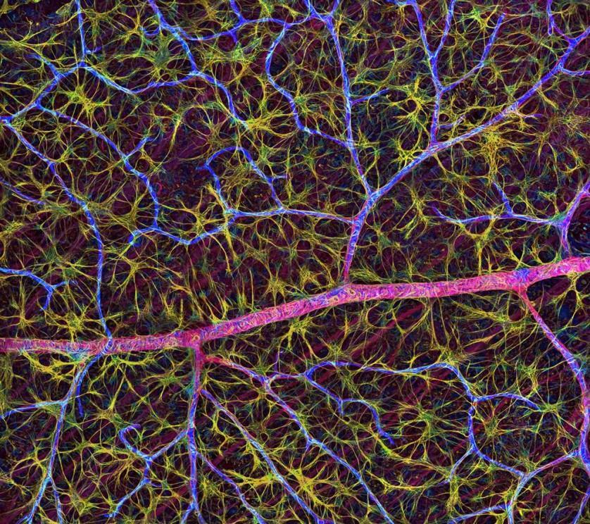 Esta imagem de uma retina, feita por Thomas Deerinck, foi premiada com uma menção honrosa