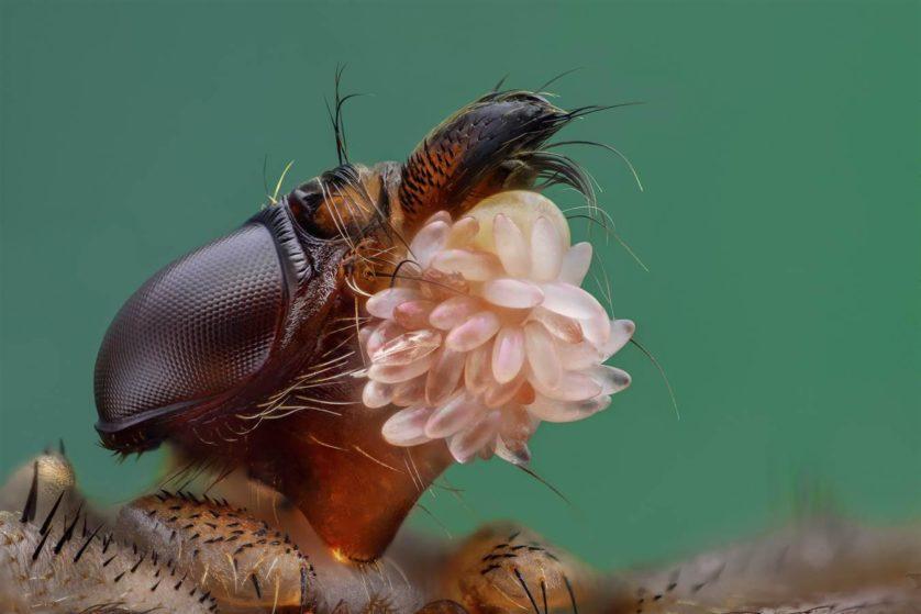 Uma mosca Hippoboscidae é o foco desta imagem, menção honrosa para Yousef Al Habshi, de Abu Dhabi