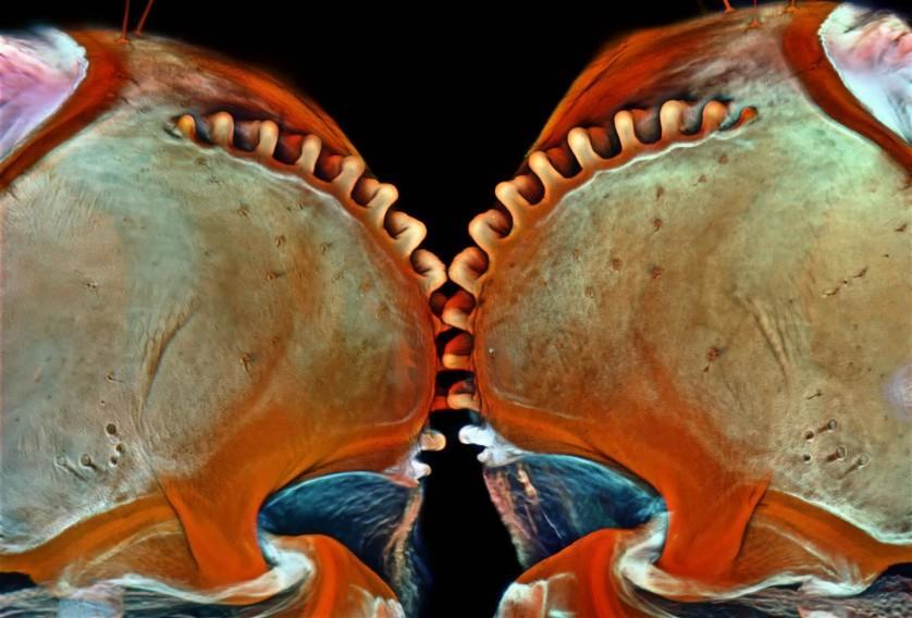 Esta imagem de uma ninfa do fulgoromorfo Acanalonia conica, feita por Igor Siwanowicz do Janelia Research Campus (EUA), ganhou o nono lugar. Esse inseto é um saltador talentoso, capaz de acelerar a 500 vezes a força da gravidade