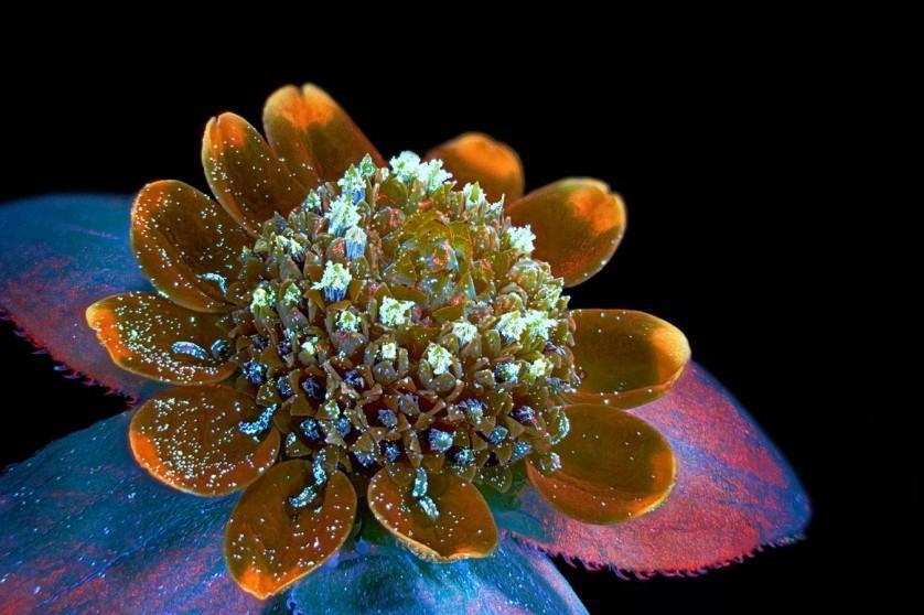 Esta foto da margarida Melampodium paludosum, feita por Oleksandr Holovachov de Ekuddsvagen, na Suécia, conquistou o sétimo lugar
