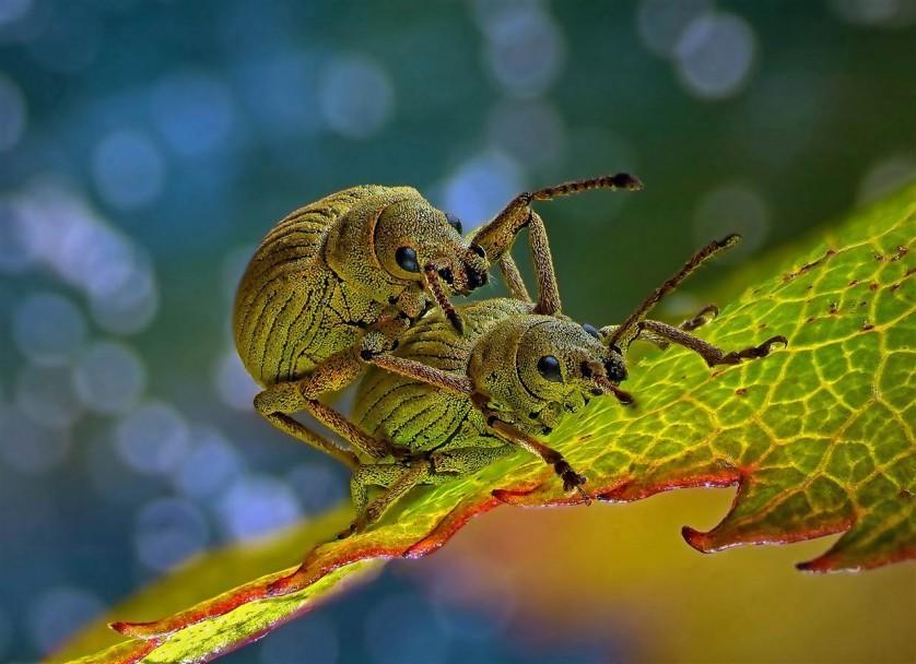 Esta imagem de dois besouros (Phyllobius roboretanus) obteve o quarto lugar para Csaba Pinter de Keszthely, na Hungria