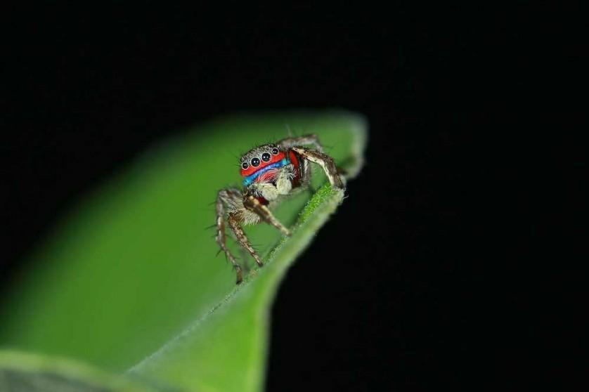 Aranha-saltadora do gênero Stenaelurillus