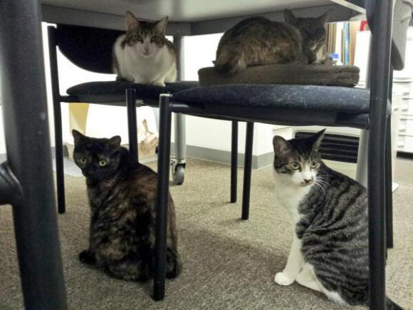gatos escritorio japao (7)