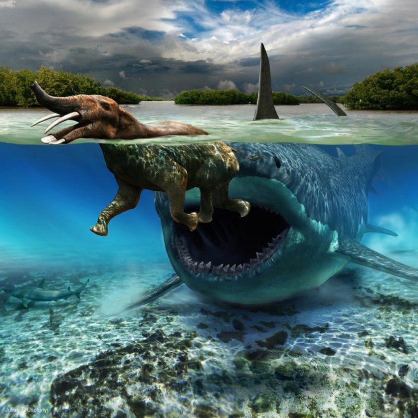 Uma das 14 imagens que aparecem como painéis (cerca de 1,22 metros de altura) no Salão de Paleontologia do Museu de Ciência Natural de Houston, esta ilustração descreve o encontro provavelmente raro, mas plausível entre o tubarão gigante Carcharodon megalodon [megalodonte] (diâmetro da mandíbula estimado em 3,35 metros) e um proboscídeo de tamanho médio, o platybelodon.