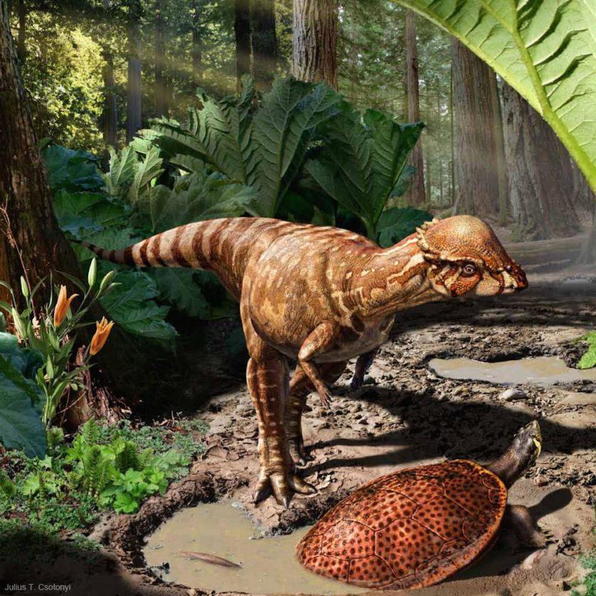 Esta cena mostra o dinossauro recém-descrito Acrotholus audeti saindo do meio de folhas Gunnera gigantes e encontrando uma tartaruga Neurankylus apoiada em uma pegada deixada por um hadrossauro que havia passado por ali mais cedo.