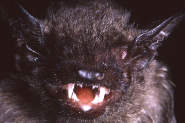 morcego2