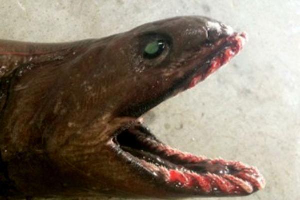 Tubarão-cobra é capturado na Austrália