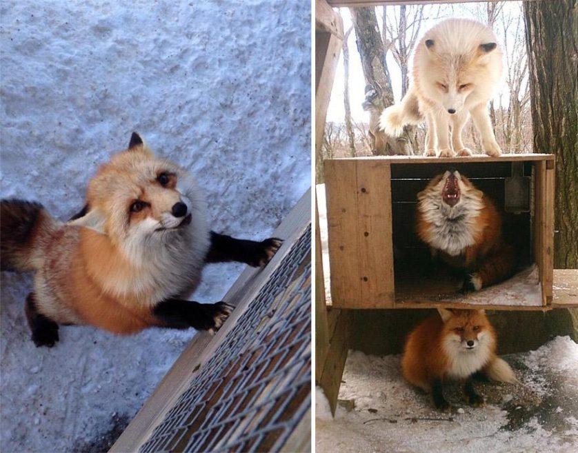raposas zao village japao (1)