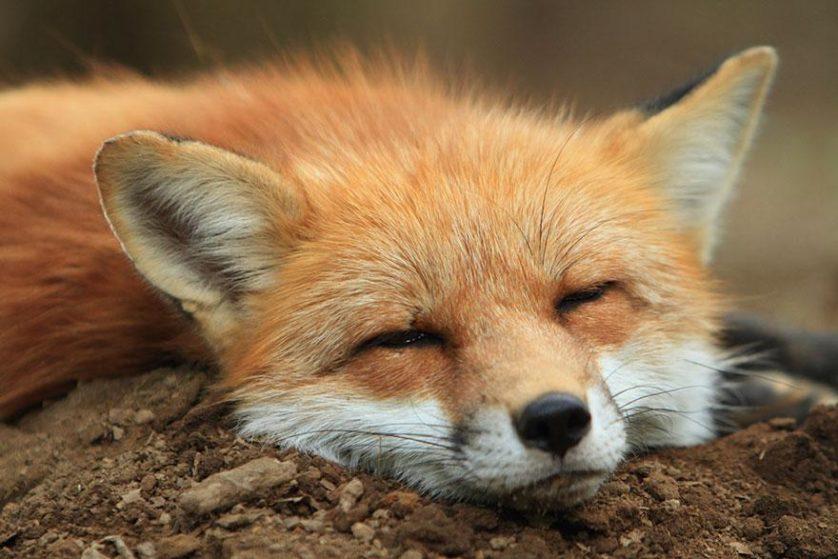 raposas zao village japao (2)