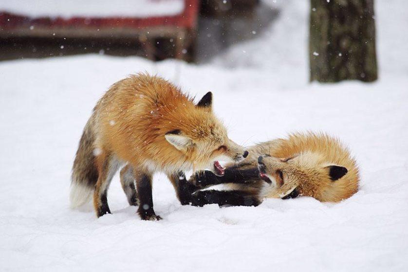raposas zao village japao (3)