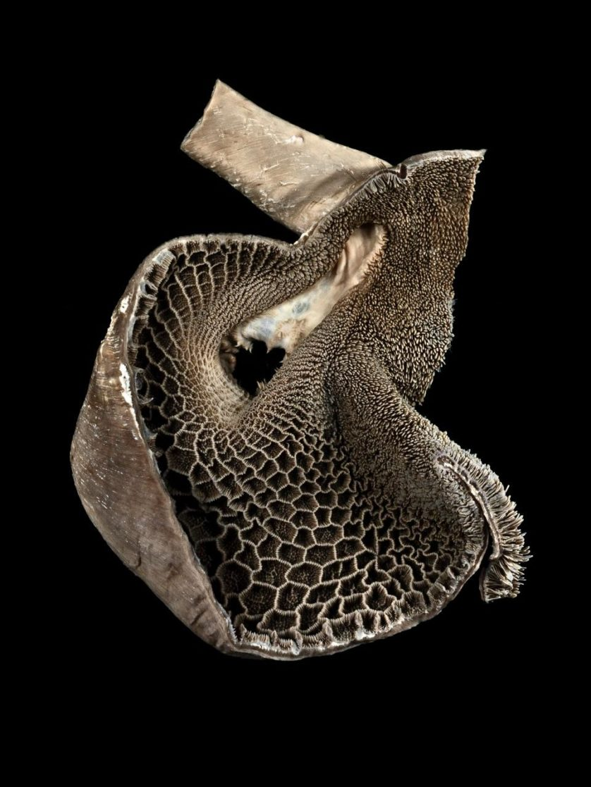 Retículo (câmara de estômago), por Michael Frank, da Royal Veterinary College (Inglaterra)