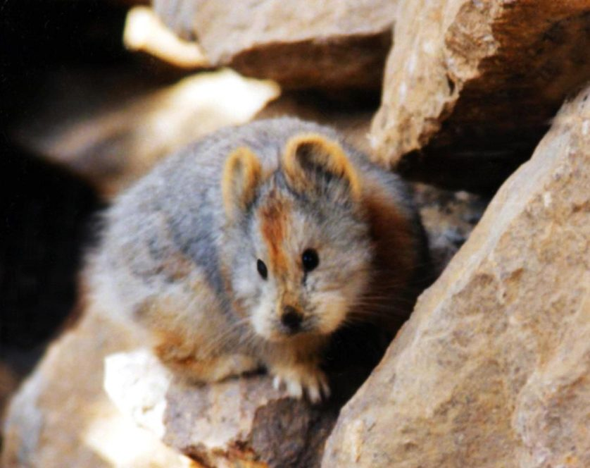 ili pika animal china3