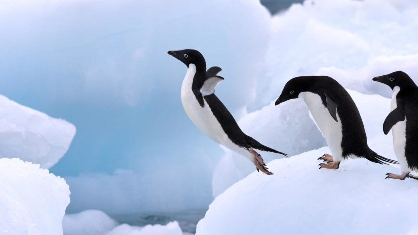 Adelie Penguin (Pygoscelis adeliae) group on iceberg, Antarctic Peninsula, Antarctica