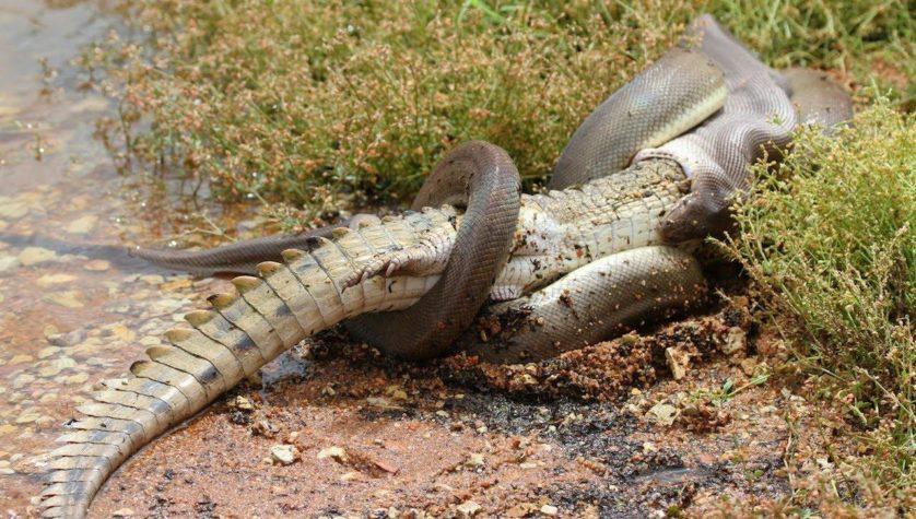 cobra e crocodilo