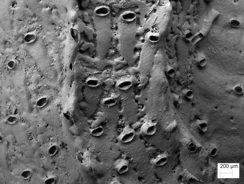 Varredura de microscópio eletrônico das aberturas do Protulophila em uma minhoca marinha
