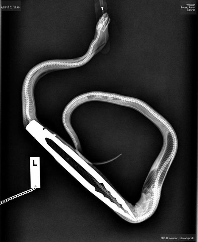 cobra engole pinca2
